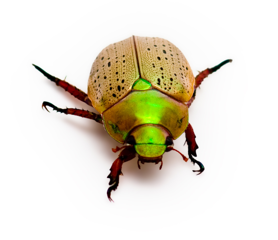 Rainbow Christmas Beetle Isolated on White with Copy Space
